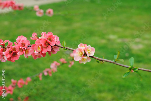 Foto Cognassier en fleurs, printemps 2011