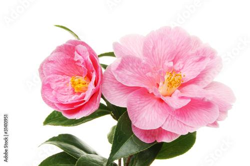 Stampa su Tela two camellia flowers