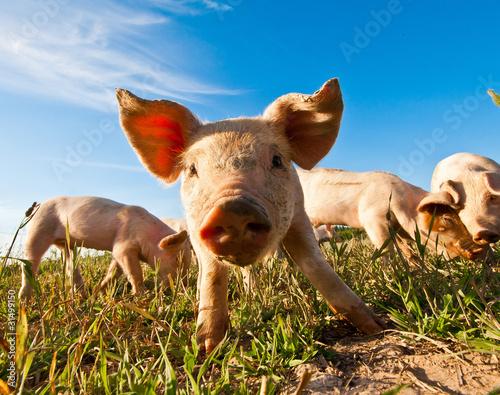 Fotografia A pig in Dalarna, Sweden