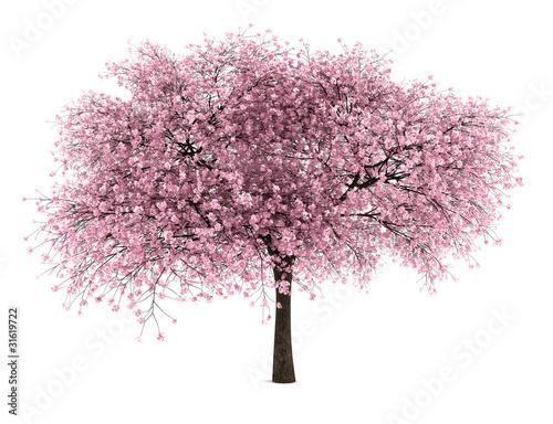 Slika na platnu sour cherry tree isolated on white background