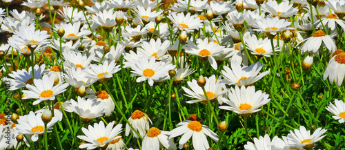 field of daisies #31651113