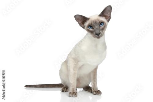 Photo Oriental Blue-point siamese cat portrait
