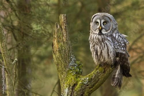Fototapeta The Great Grey Owl or Lapland Owl, Strix nebulosa
