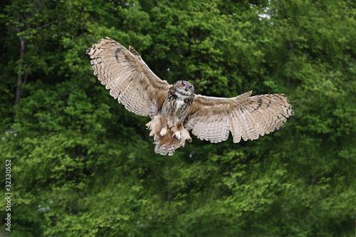 Fotografie, Obraz Stunning European eagle owl in flight