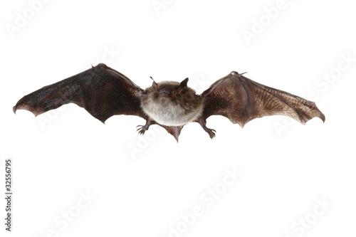 Fledermaus beim Fliegen