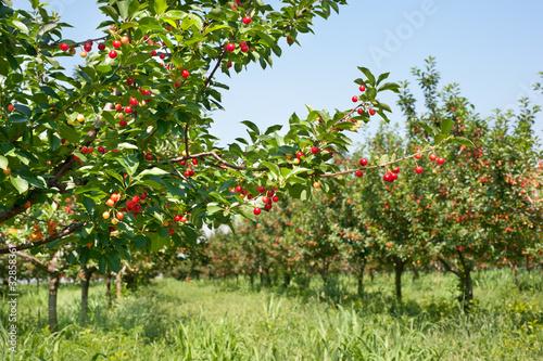 cherries on orchard tree Fototapeta