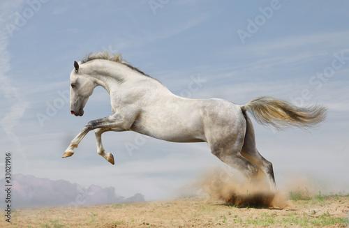 silver-white stallion on black #33021986