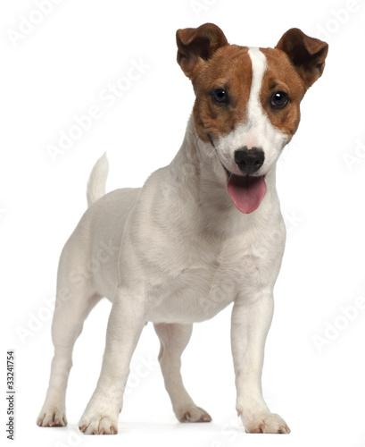 Obraz na płótnie Jack Russell Terrier puppy, 6 months old, standing