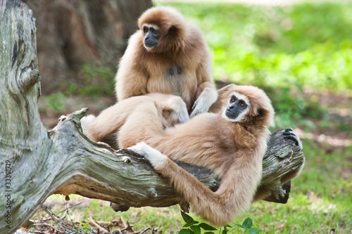 Valokuvatapetti White handed Gibbon or Lar Gibbon