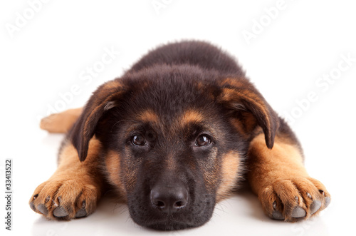 Canvas Print German Shepherd dog