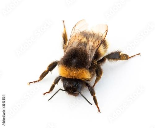 Canvas Print Bumblebee