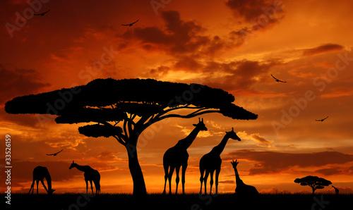 Photo herd of giraffes in the setting sun