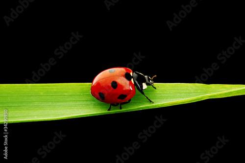 ladybug isolated on black