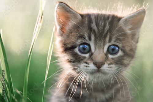 kitten #34471517