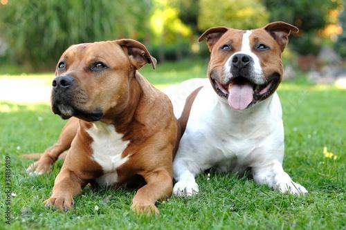 Fotografia American Staffordshire terriers