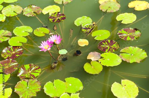 Obraz na plátně Pink lotus on the lake