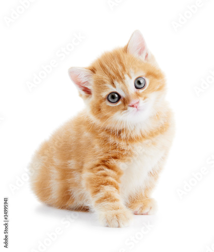 Photo British Shorthair kitten cat isolated