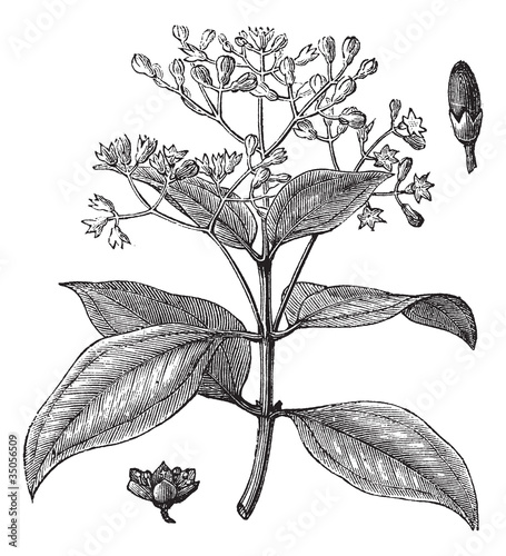 Fényképezés Cinnamomum verum or True cinnamon vintage engraving