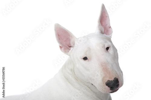 expression typique du bull terrier Fototapet