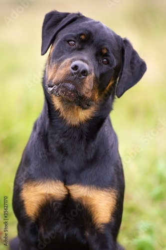 Obraz na plátně Rottweiler