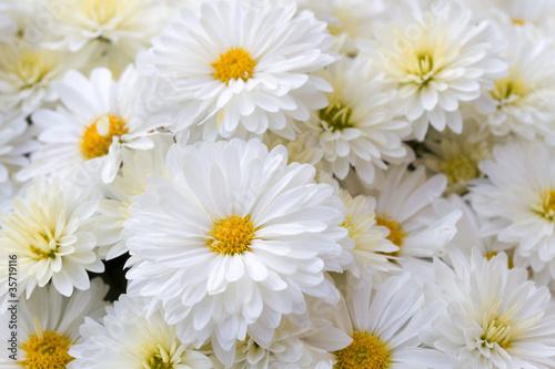 Foto Chrysanthemen (Chrysanthemum Indicum)