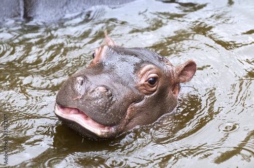 A baby hippo