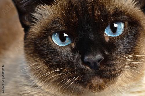 Photo siamese cat closeup