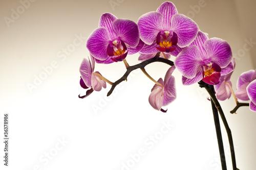 Fototapeta premium Storczyk z pięknymi kwiatami