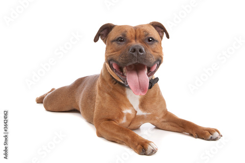 Fototapeta Staffordshire bull terrier
