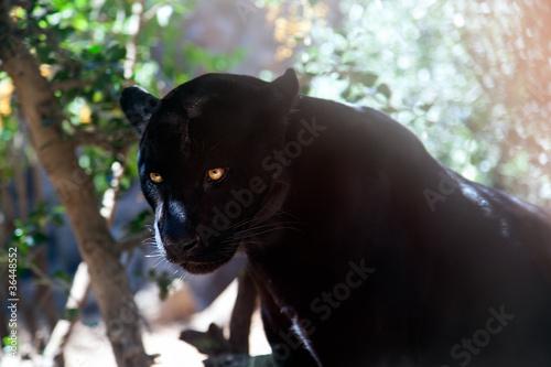 Fototapeta Puma ve stínu stromu