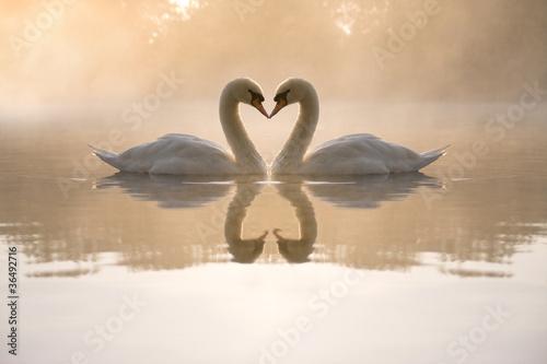 Fotografie, Obraz Swans forming love heart