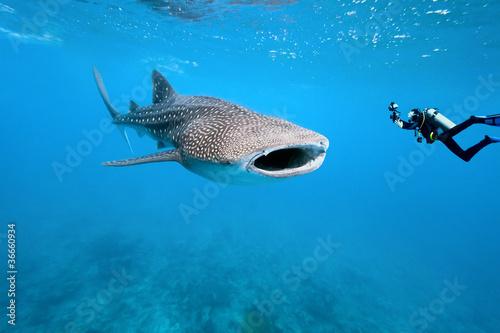 Fototapeta premium Rekin wielorybi i fotograf podwodny