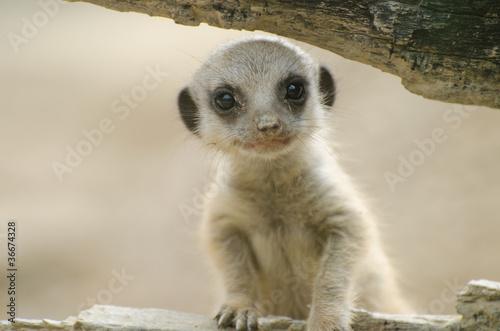 Fotografia Meerkat baby