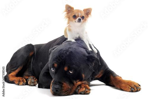 Fotografie, Obraz rottweiler et chihuahua