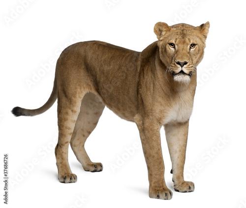 Stampa su Tela Lioness, Panthera leo, 3 years old, standing