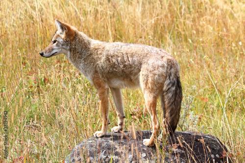 Obraz na płótnie Western Coyote (Canis latrans)