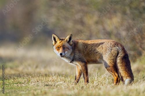 Obraz na plátně Red fox walks trough the dunes
