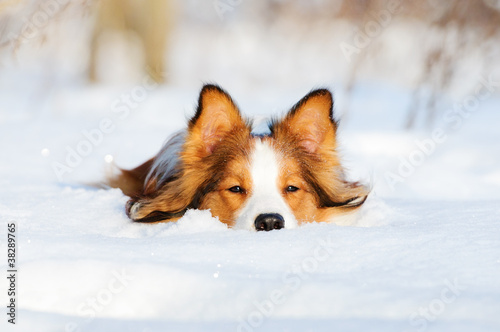 Leinwand Poster Border collie young dog play in winter