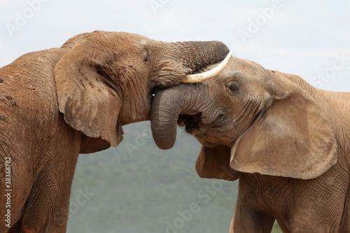 Fototapeta premium Powitanie słonia afrykańskiego
