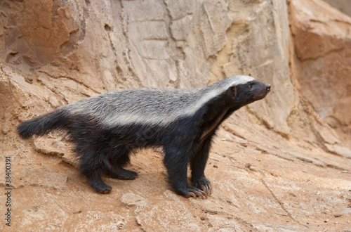 A honey badger (Mellivora capensis) Fototapet