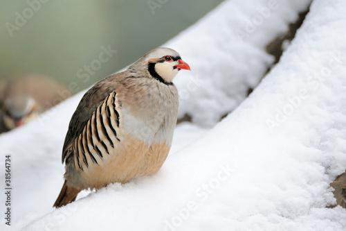 Fototapeta Partridge in winter