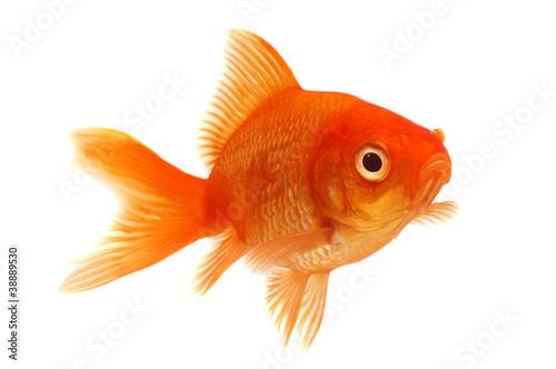 Fotografiet Orange Goldfish on White