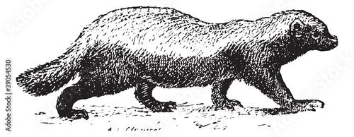 Fotografie, Tablou Ratel or Honey badger (Mellivora capensis) isolated on white, vi
