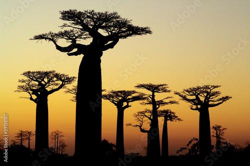 Wallpaper Mural baobab sunset silhouette