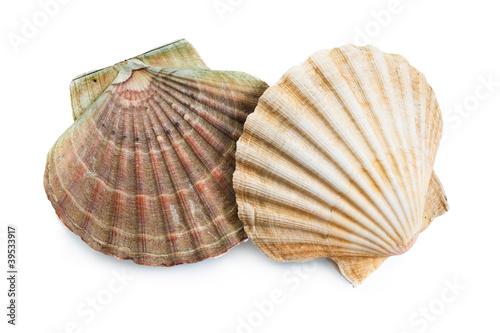 Obraz na plátně scallops shells