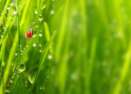 Early morning in a spring grass and the ladybug. Fototapeta