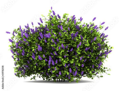 Fotografia, Obraz lilac flowers bush isolated on white background