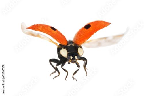 isolated flying red ladybug