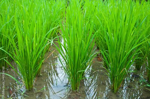 Canvas Print green rice field