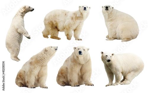 Set of polar bears. Isolated over white